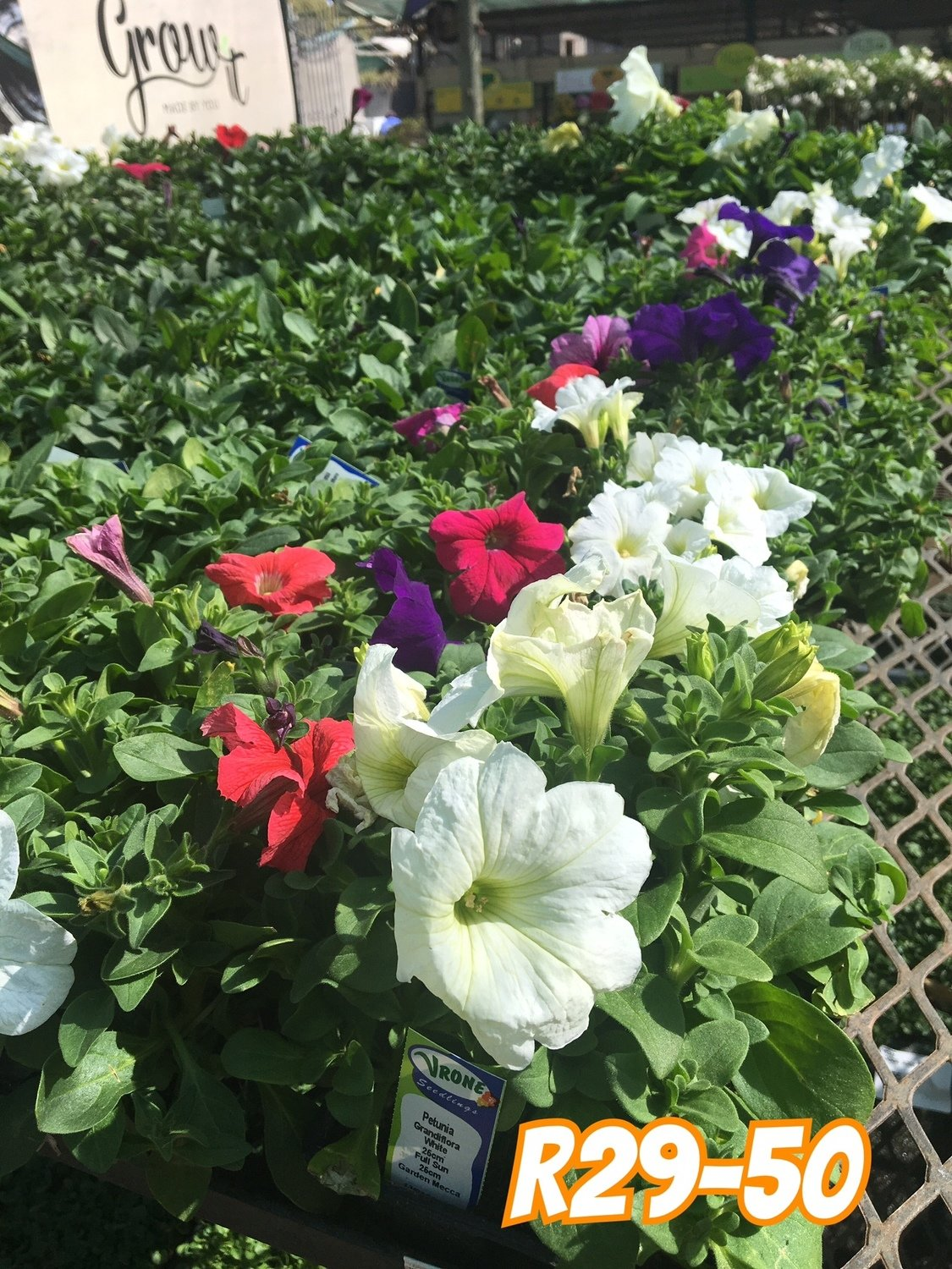 Petunia Mixed Colours Seedlings 6 Pack