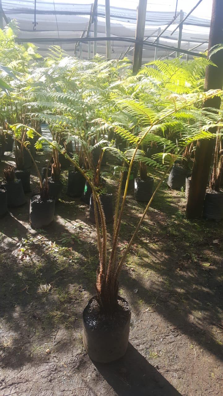 Cyathea Australis Tree fern 10 Liter