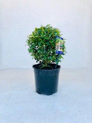Syzygium brush cherry ball 23cm Pot
