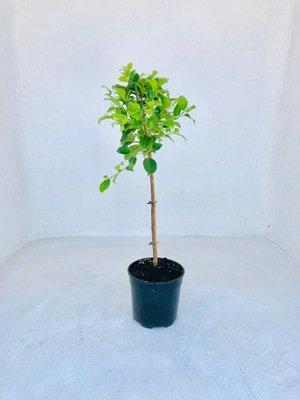 Ficus Millennium Patio Standard 19cm Pot H800