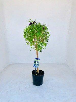 Solanum Braided Patio Standard 19cm Pot  H 800mm