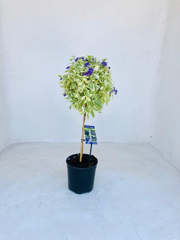 Solanum Variegated Patio Standard 19cm Pot H800mm