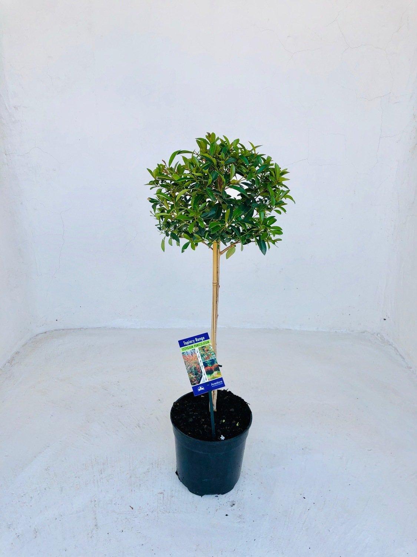 Syzygium brush cherry Patio Standard 19cm Pot  H 800mm