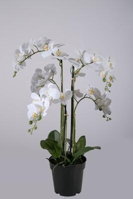 Orchideeën in pot 65 cm