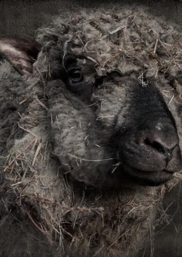 Tuinposter donker schaap