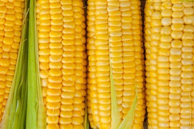 LOCAL! 'Candy King' Sweet Yellow Corn ONE EAR