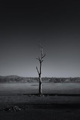 Australian Tree Series: Gum Trees #2