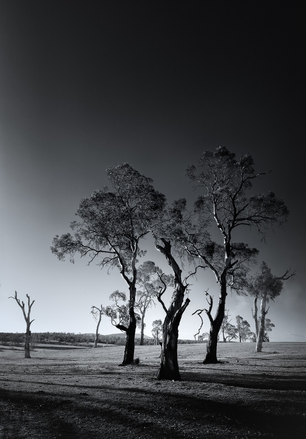 Australian Tree Series: Gum Trees #1