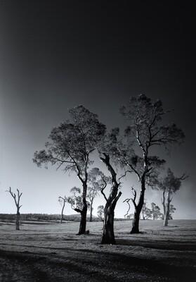 Australian Tree Series: Gum Trees #1