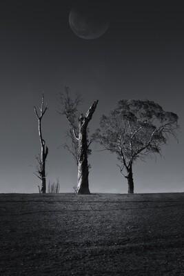 Australian Tree Series: Gum Trees #3