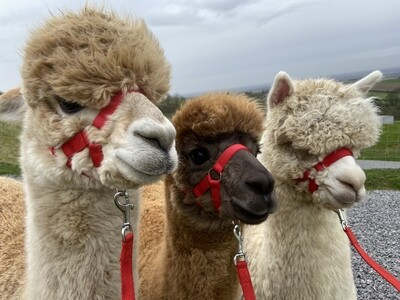 Alpaca Walking Tour and Experience