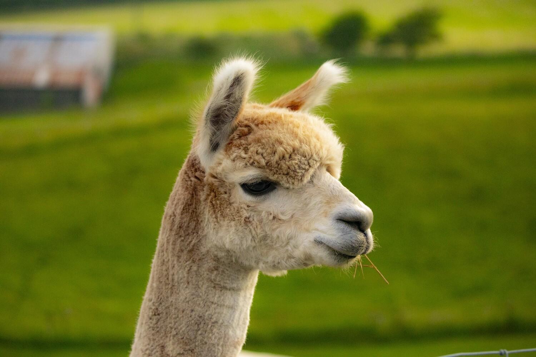 Alpaca Walking Tour Experience