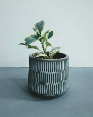 Peperomia Ginny Baby Rubber Plant