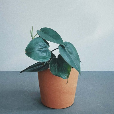 Philodendron Heart Shape