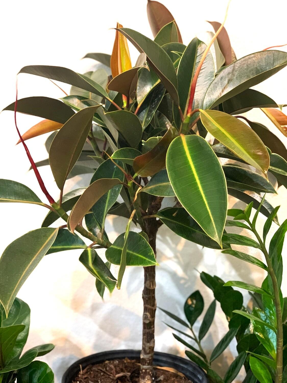 Ficus Elastica Standard