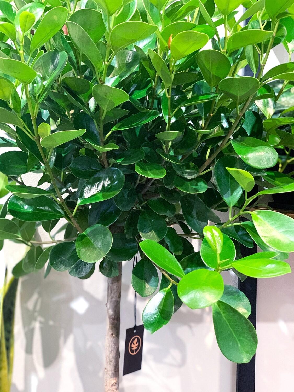 Ficus Moclame (daniella)