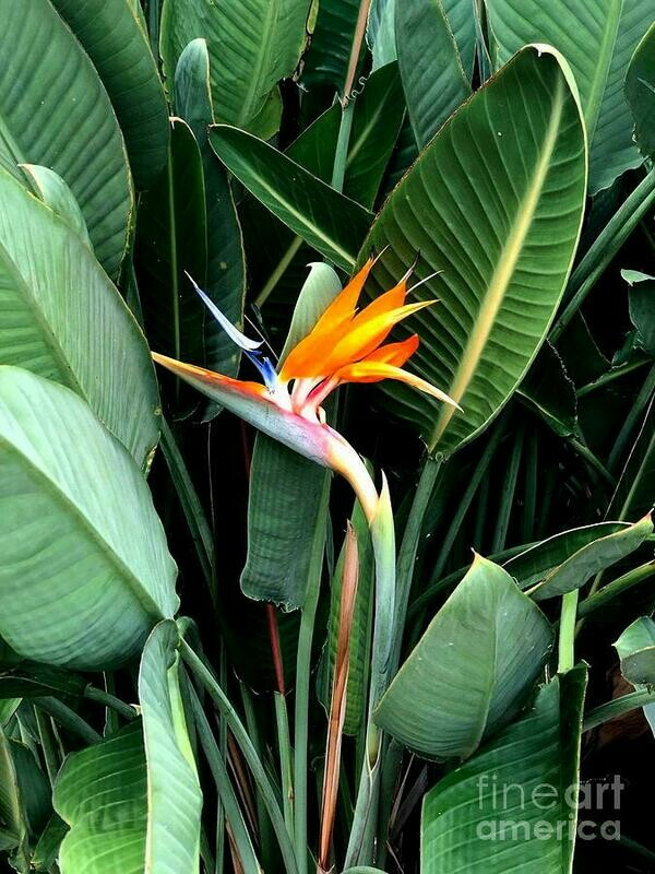 Bird of Paradise Orange