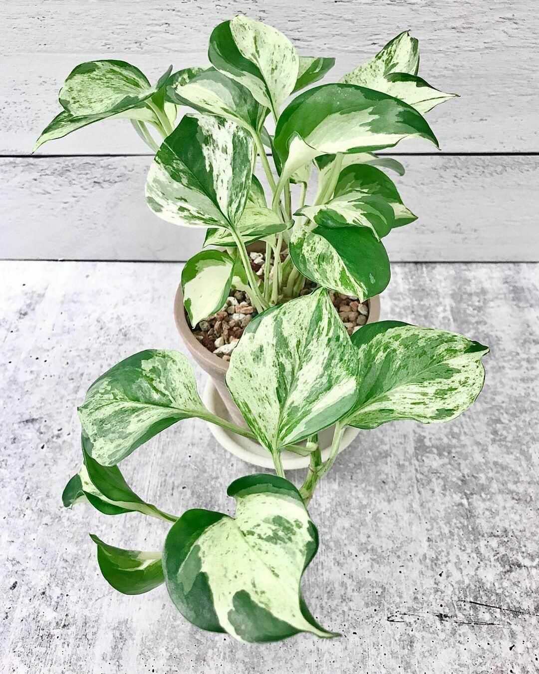 Epipremnum Happy Leaf