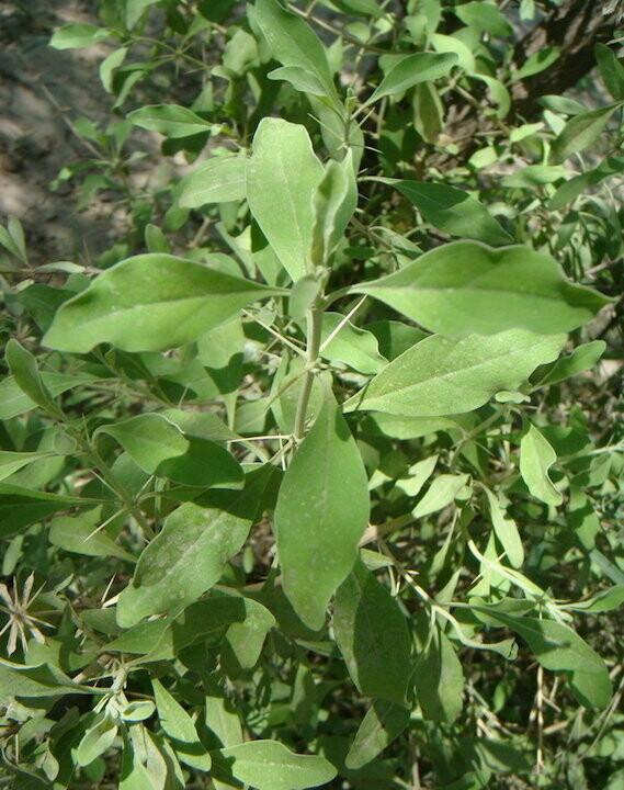 otostegia leaves sandal incense (Ethio tnjut qtel ) 22g