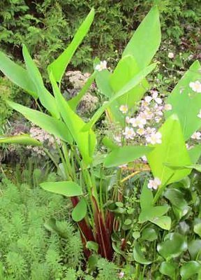 Red Stem Water Canna Pond Plant