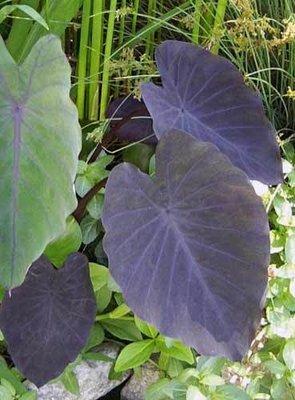 Black Magic Taro Pond Plant