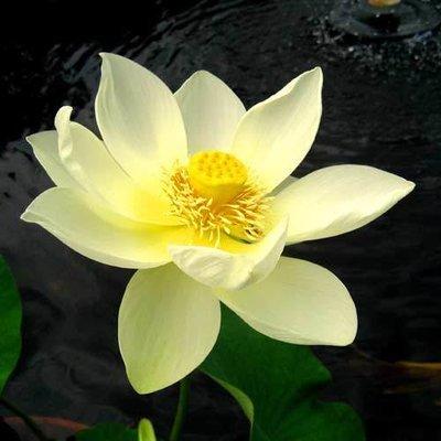 Lutea Pond Lotus