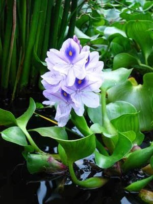 Jumbo Water Hyacinth (12 Plants)