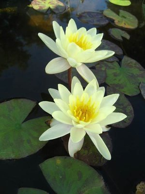 Chromatella Hardy Yellow Water Lily