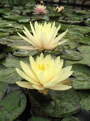 Texas Dawn Hardy Yellow Water Lily