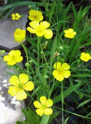 Greater Spearwort Pond Plant