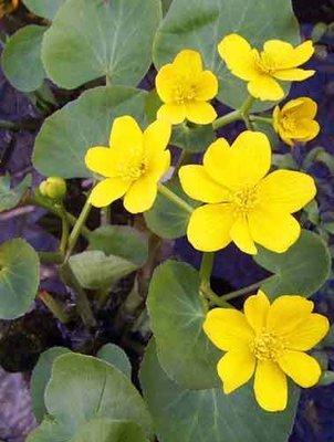 Marsh Marigold Pond Plant