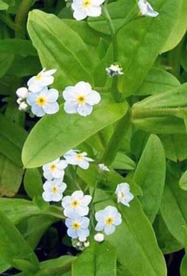 Water Forget-Me-Not Pond Plant