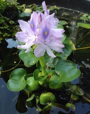 Water Hyacinth - Compact Variety (3 Plants)