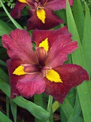 Bold Pretender Iris Pond Plant