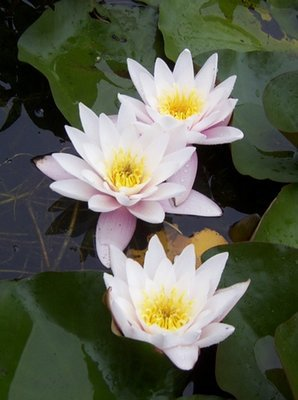 Carnea White / Pale Pink Hardy Water Lily