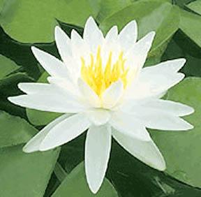 Virginalis Hardy White Water Lily
