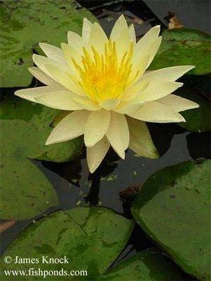 Charlene Strawn Hardy Yellow Water Lily
