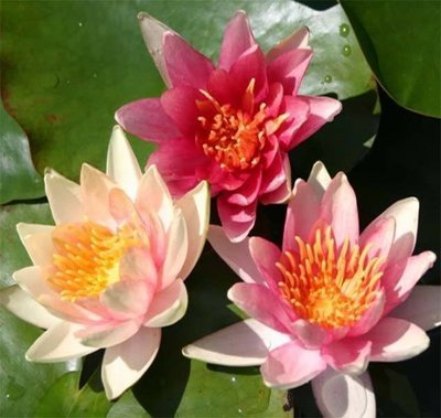 Sioux Hardy Changeable Water Lily