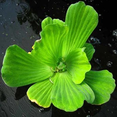 Water Lettuce Floating Pond Plant (3 Plants)