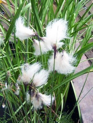 Cotton Grass Pond Plant