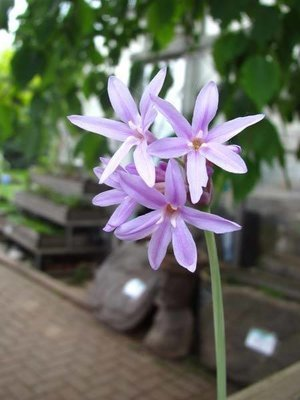 Variegated Society Garlic Pond Plant
