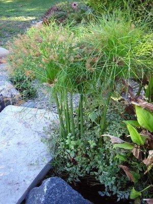 Little Giant Papyrus Pond Plant