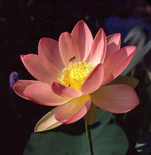 Carolina Queen Pond Lotus