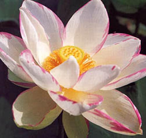 Empress (Alba Striata) Pond Lotus