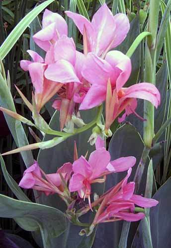 Canna Erebus Pond Plant