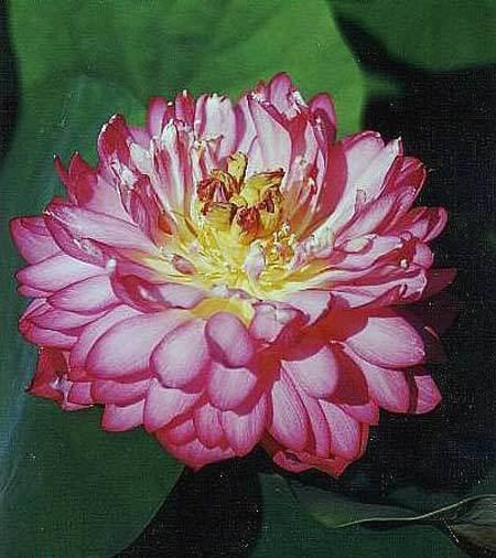 Double China Rose Pond Lotus