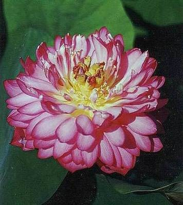 Double China Rose Pond Lotus