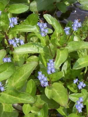 Brooklime Pond Plant