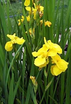 Double Yellow Flag Iris Pond Plant