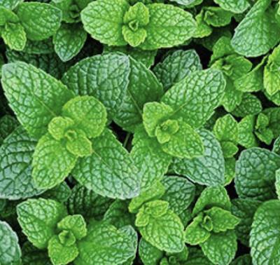 Mint (Organic)